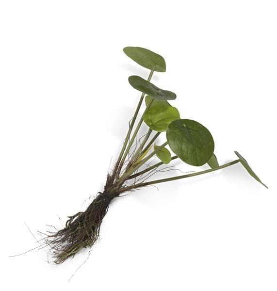 Pilea Bush With Roots - 24 cm Coco Maison FLOWERS Lowik Wonen & Slapen